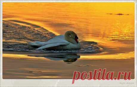 лебедь в лучах заходящего солнца
