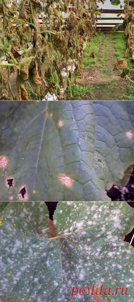 Болезни огурцов - как бороться в теплице и открытом грунте