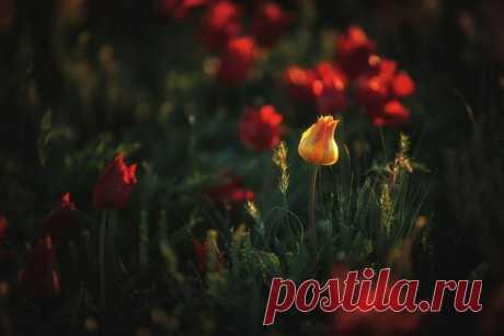 Цветущие дикие тюльпаны в степях Калмыкии. Автор фото — Дмитрий Купрацевич: nat-geo.ru/photo/user/114930/
