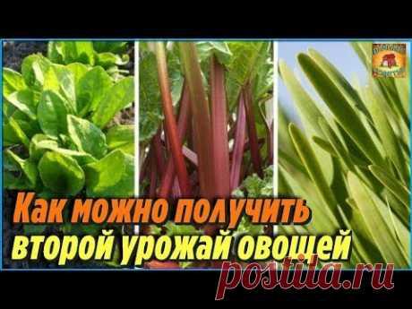 Вот какие овощи и растения можно повторно высаживать в июле. Дачные советы и рекомендации