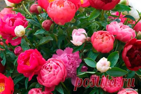 10 полезных советов по выращиванию пионов Пионы – один из самых популярных цветов, которые используют в букетах. Их великолепные бутоны действительно выглядят шикарно и мы особенно любим их за это. Неважно, будь это розовые, красные или белые...