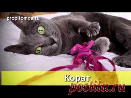 #Корат - факты об интересной породе #кошек - YouTube
