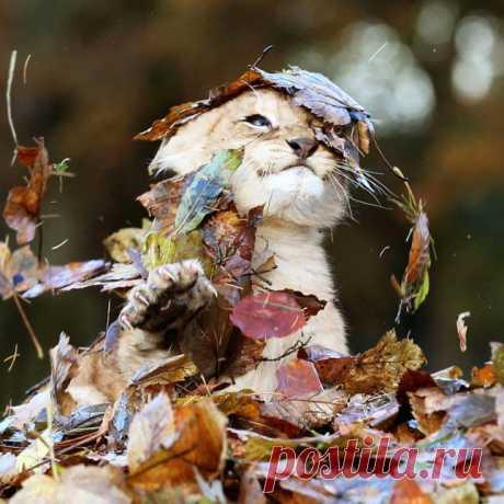 Львенок радуется осенней листве :)
