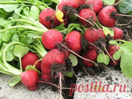 Как получить первый урожай редиса уже в апреле? | Морковь, свекла, редис (Огород.ru)