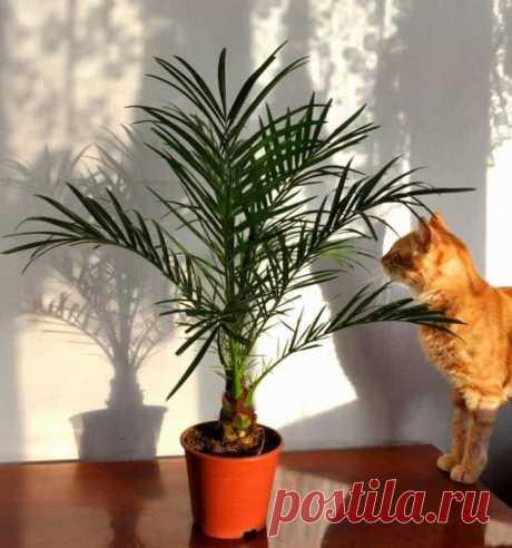 Разновидности домашней пальмы с названиями и фото Преимущества использования пальм в декоре дома Комнатная пальма вне зависимости от вида обладает хорошими эстетическими качествами и удобна для содержания в офисном помещении, жилой комнате. Одомашнен...