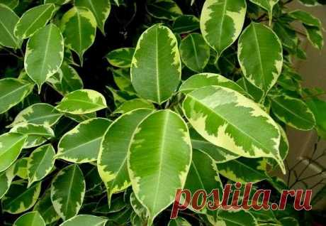 Опадает фикус Бенджамина, причины и лечение Все прекрасно в вашем цветнике, растения прибавляют в росте, радуют зеленой листвой, а некоторые даже выпустили бутоны и вот-вот зацветут. Но однажды вы замечаете, как вдруг опал фикус Бенджамина, что...