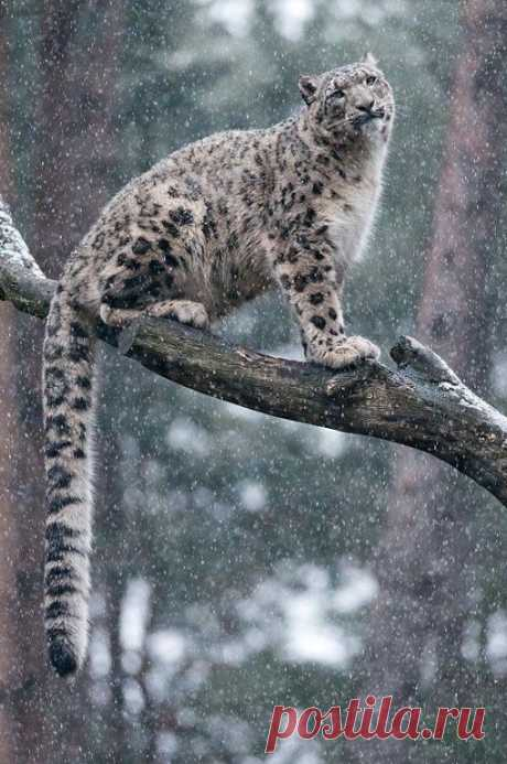 «Снежные барсы » — карточка пользователя Любовь З. в Яндекс.Коллекциях
