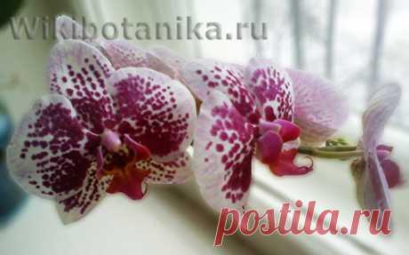 Орхидея меняет цвет   WikiBotanika.ru