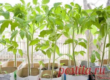 Рассада переросла: причины, замедляем развитие Что делать если рассада переросла. Как замедлить рост рассады томатов, перцев, огурцов, капусты. Причины вытягивания и истощения рассады овощей