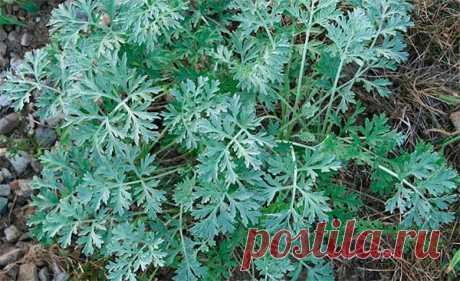Трава полынь горькая - лечебные свойства и противопоказания Трава полынь горькая: лечебные свойства и противопоказания. Инструкция по применению настойки полыни от паразитов и для улучшения пищеварения.