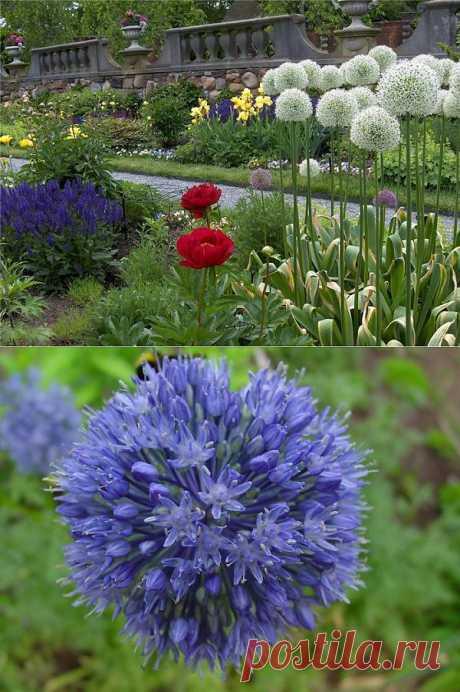 Выращивание декоративного лука | Дача, дом
