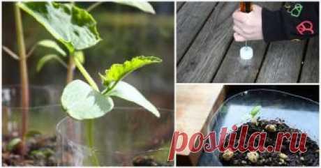 Как сделать самополивающийся горшок для семян и рассады? Всё гениальное просто ...