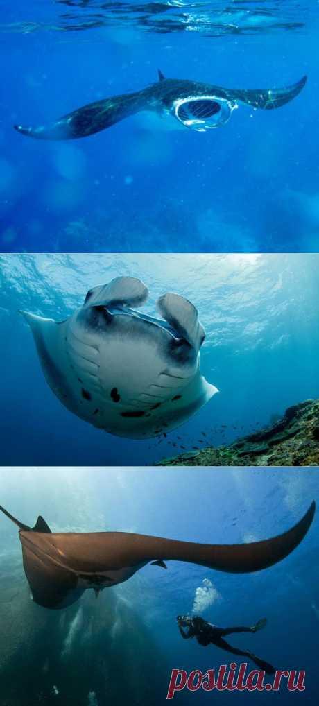(+1) тема - Гигантский морской дьявол (Манта) | НАУКА И ЖИЗНЬ