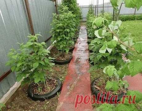 ✪ Оригинальный способ выращивания малины ✔ Опыт дачника