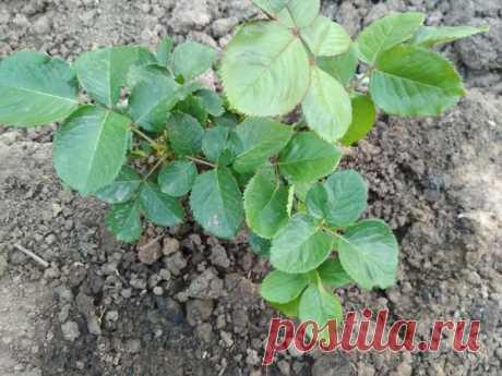 Черенкуем розу в июле: первый способ посадки в картошку | Летний досуг | Яндекс Дзен