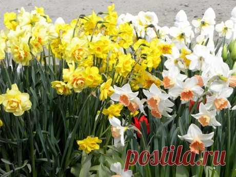 Луковичные садовые цветы, фото и названия по срокам цветения