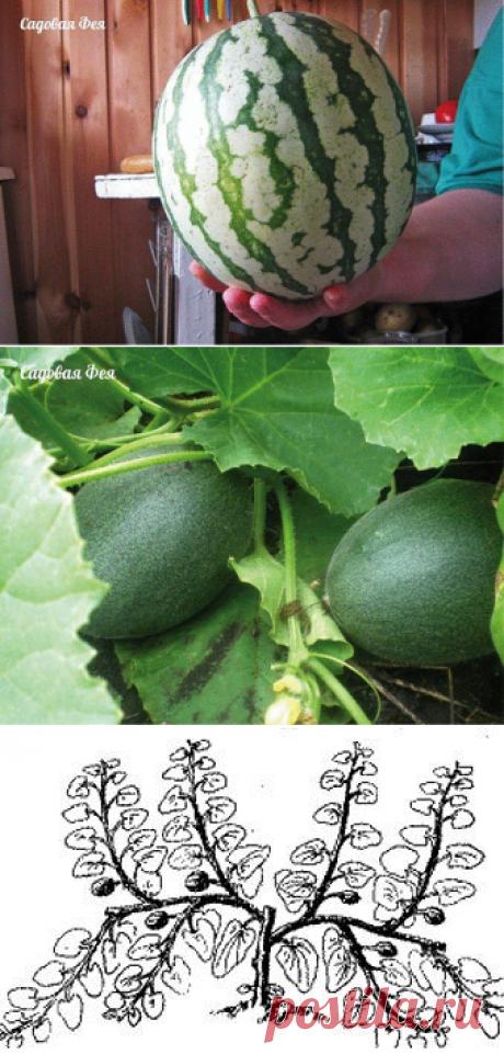 Умная бахча. Как просто вырастить арбузы, дыни.