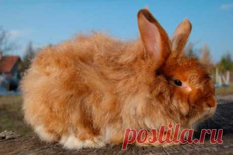 Ангорский кролик (карликовый декоративный): фото, интересные факты Ангорская порода кроликов известна длинной шерстью, которая делает их похожими на пушистый шар. Животные имеют кроткий нрав, требуют тщательного ухода, довольно часто болеют.