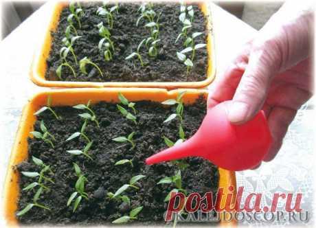 Как правильно поливать рассаду овощных культур — Калейдоскоп