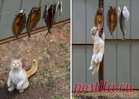 Коты-воришки Все знают, что когда коты не спят, они строят планы по завоеванию мира и едят. А если еды нет, её приходится воровать. Посмотрите, как изворотливы бывают эти пушистые наглецы в поисках вкусненького!  …