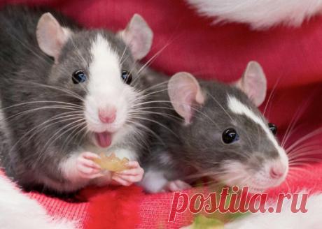 Домашняя крыса: самый умный питомец