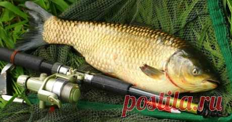 Несколько секретов в ловле белого амура | Все о ловле рыбы - Рыбалке.нет