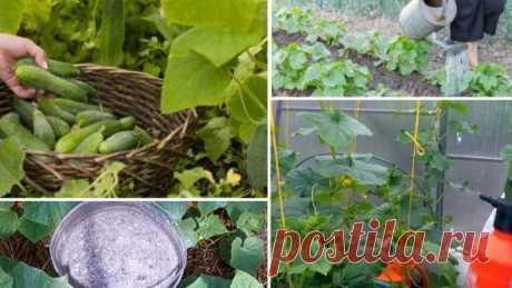 Самый простой способ выращивания огурцов.