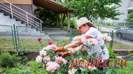 Как правильно обрезать розы? | Растения