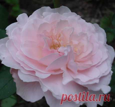 Розы. Новинки