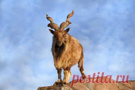 8 фото винторогого козла мархура, который шикарен. И он это знает Эй, детка, как тебе мои рога?