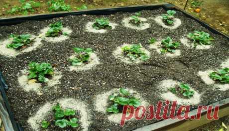 Чем подкармливать клубнику во время цветения и завязи, чтобы получить хороший урожай