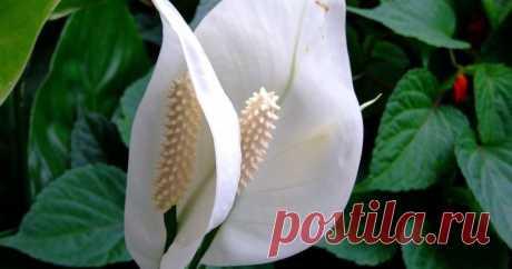 Спатифиллум: 5 причин держать цветок в своем доме - archidea.com.ua Блестящие зеленые листья, белые или красные цветы, а также естественное очищение воздуха – это лишь некоторые из преимуществ этих «крылышек». Еще спатифиллум называют «женское счастье».