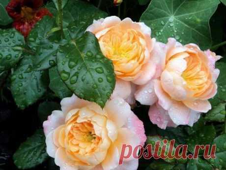 Как весной размножить розы черенками? — 6 соток