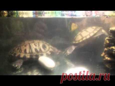 Размножение красноухих черепах.