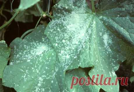 Советы опытных огородников: Как избавиться от мучнистой росы — 6 соток