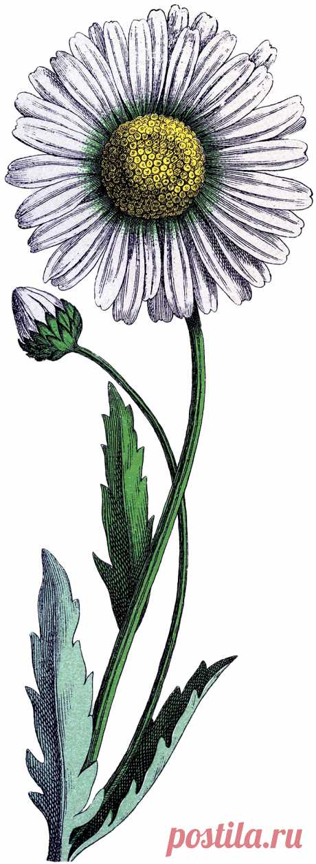 Vintage-Daisy-Download-GraphicsFairy.jpg (659×1800)