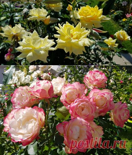 Удобрение, с которым мои розы стали цвести очень обильно (секрет от хозяйки питомника)