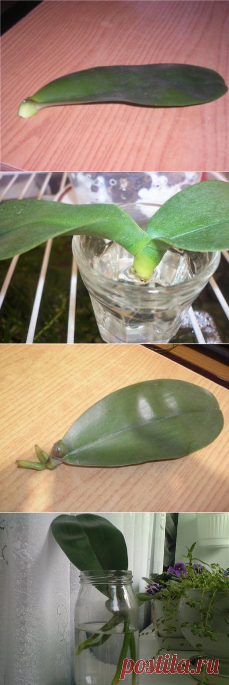 САД, ЦВЕТНИК И ОГОРОД. Как спасти орхидею Фаленопсис