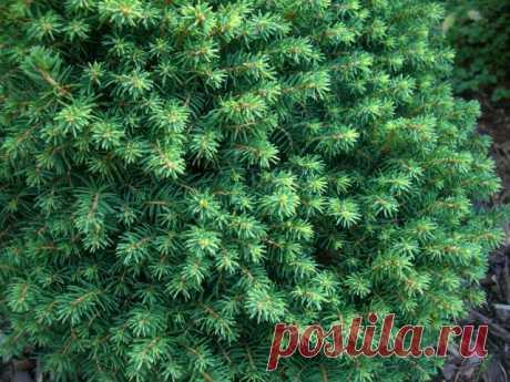 Хвойные растения для небольшого участка   Хвойные (Огород.ru)