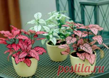 Гипоэстес - уход в домашних условиях, пересадка и размножение Гипоэстес (Hypoestes) является вечнозеленым растением, имеющим прямое отношение к семейству акантовых. В природе встречается на острове Мадагаскар.