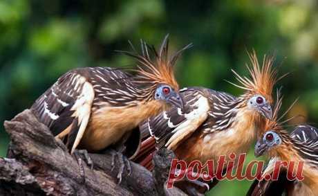 Они едят листву, источают запах навоза, а у их птенцов на крыльях растут когти. Рассказываем о самых причудливых птицах на свете – гоацинах.