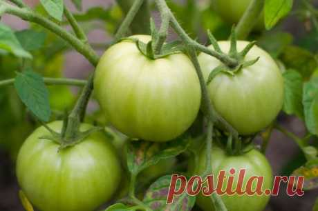 Как ускорить созревание томатов |  sotki.ru | Ваши 6 соток Этим летом поздно установилась теплая погода, чтобы не оказаться в «стране вечнозеленых помидоров» можно, если немного поторопить растения.  Есть несколько несложных способов помочь плодам побыстрее созреть.