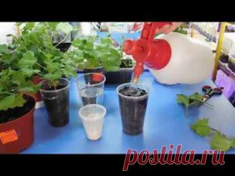 СЕКРЕТ БУЙНОГО ЦВЕТЕНИЯ КОРОЛЕВСКОЙ ГЕРАНИ  ( ПЕЛАРГОНИИ ) ! Чем подкормить, как выращивать 🌱