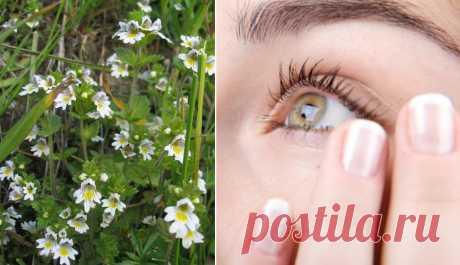 Очанка — спасительница зрения и памяти! Трава, которая заменит окулиста — если не лениться и правильно лечиться