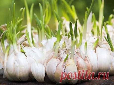 Никогда не выбрасывайте полежавший проросший чеснок Чеснок, как и лук, ближе к весне пускает корешки и зеленые ростки....