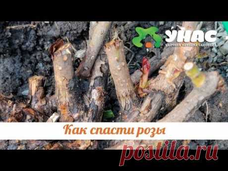 Как спасти розы после неудачной зимовки. ТК УНАС