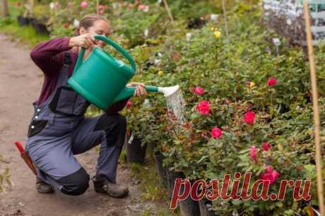 """Розы в июле: что можно и нужно делать с """"королевой цветов"""" в середине лета"""