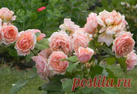 Тля на розах: 10 способов как эффективно бороться народными средствами - Дача Своими Руками Как избавиться от тли, этих крошечных существ, которые любят сосать сок из бутонов и листьев ваших р