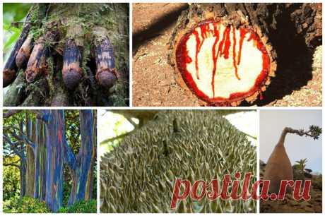 Потрясающие деревья нашей планеты Не знаю, как перестать удивляться тому, что создано природой - ведь это нечто невероятное! Рассматривая флору и фауну, на ум приходит лишь одна мысль - да как же это все так могло так сложиться, чтобы в итоге получилась подобная красота...