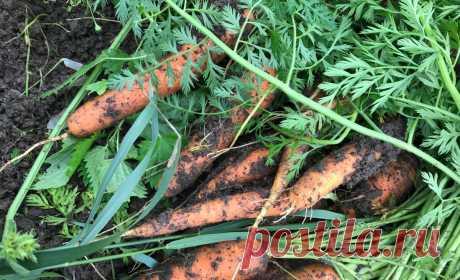 Потраченные 3 минуты в январе дают 100 % всходов моркови в мае – делюсь своим приёмом | Зелёные истории | Яндекс Дзен